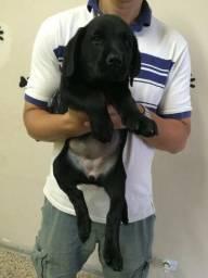 Labrador com pedigree - Vacinado - Vermifugado - Contrato