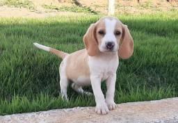 Filhote de Beagle bicolor