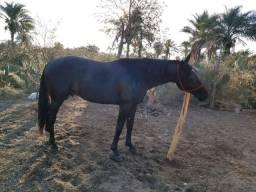 Vendo lindo cavalo manga larga macha picado