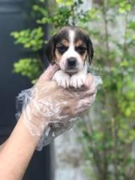 Filhotes de Beagle Disponiveis em Loja