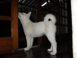 Akita Inu Branco
