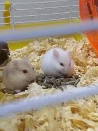 Hamster de estimação