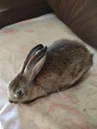 Vendo essa coelhinha ela tem 2 meses fêmea