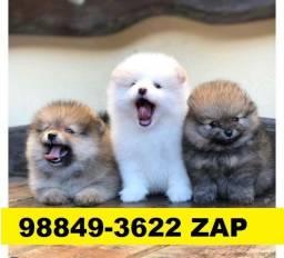 Canil Filhotes Cães Premium BH Spitz Alemão Shihtzu Beagle Bulldog Yorkshire Maltês
