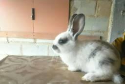 Mini coelhos de raça