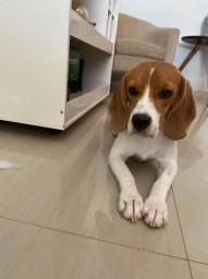 Título do anúncio: Beagle fêmea