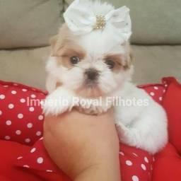 Shihtzu Fêmea Branca/ Dourada muito Linda com Pedigree! Império Royal Filhotes
