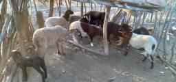 Ovelhas parida