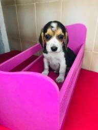 Beagle fêmeas tricolor a pronta entrega.