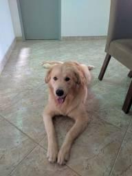 Vende se Cachorro Golden Retriever