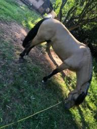 Cavalo Crioulo RE Junco