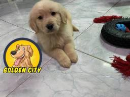 Golden Retriever femea c/pedigree e microchip