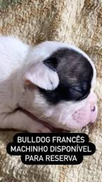 Bulldog Francês machinhos disponível para reserva