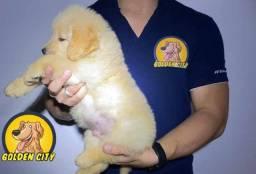 Golden Retriever macho c/pedigree e chip