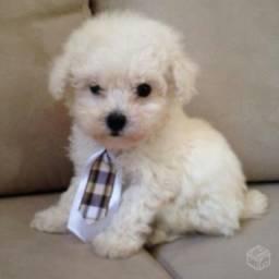 Poodle toy (macho) filhote minúsculo