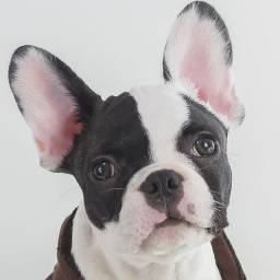 Bulldog francês belos e fofos