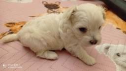 Linda fêmea  de  poodle   Disponível