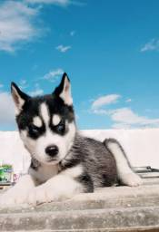 Filhotes de Husky Siberiano com Pedigree