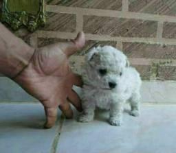 Poodle toy verdadeiro macho