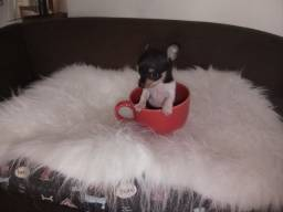 PINSCHER 0 MACHINHO TRICOLOR SO 900