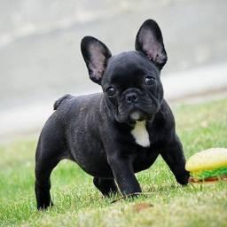 Lindos filhotes de Bulldog Francês já vermifugados !!