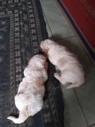 Cachorro poodle toy fêmea e macho 3 meses