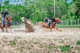 Cavalo QM vaquejada