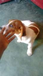 Cachorro basset de 7meses filhotinha fêmea 550$reais