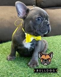 Bulldog frances femea cinza