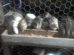 Vendo filhotes de codorna gigante