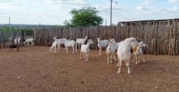 Cabras saanem registradas