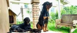 Filhote Rottweiler (Leia o Anúncio)