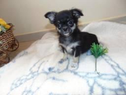 Chihuahua macho em 12x entregamos