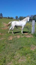 Cavalo crioulo tordilho