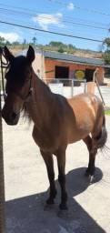 Cavalo marchador manso de sela!!!