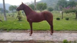 Vendo Cavalo Castrado de Marcha Picada Registrado