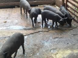 Porcos caipira