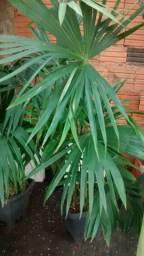 Palmeira leque da China