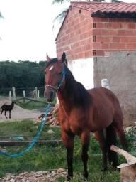 Abaixei para vender rápido Cavalo qm registrado