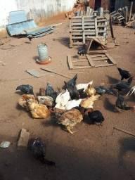Vende de galinhas vivas