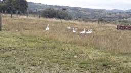 Vendo gansos
