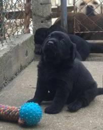 Labrador o melhor da olx, leia a descrição para mais info e contatos