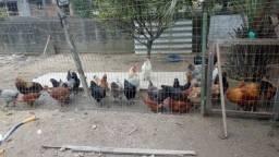 Título do anúncio: Vendo galinhas e galos