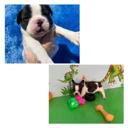 Bulldog francês com pedigree e micro chip em até 12x