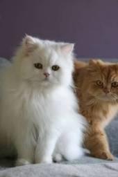 Gatos Persas cores