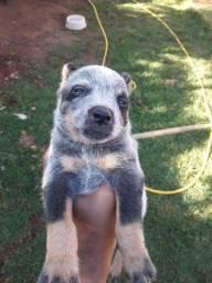 Vendo Filhotes de Cachorro Raça Blue Heeler
