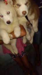Filhotes Husky Siberiano Wolly olhos azuis, reserva confira!