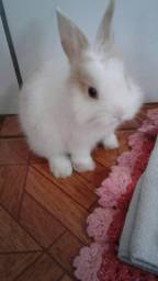 Vendo mini coelha fêmea