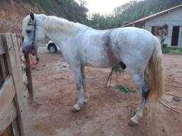Cavalo mestiço de mangalarga