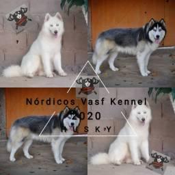 Filhotes de husky siberiano pelagem longa( RESERVAS)